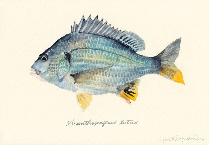 Acanthopagrus_latus
