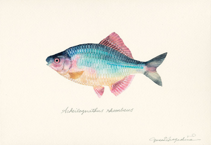 Acheilognathus_rhombeus