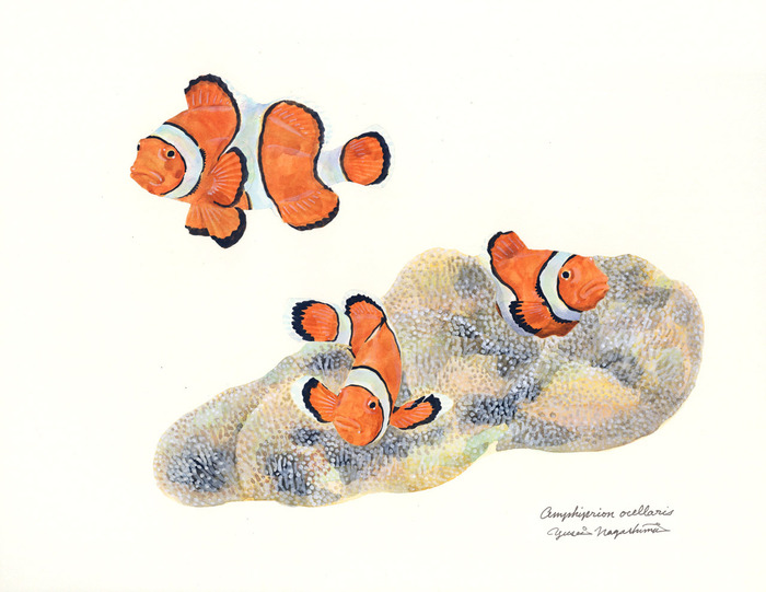 Amphiprion_ocellaris_170526