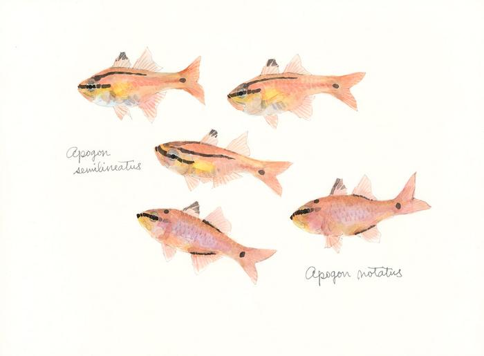 Apogon_semilineatus