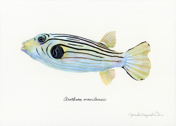 Arothron_manilensis