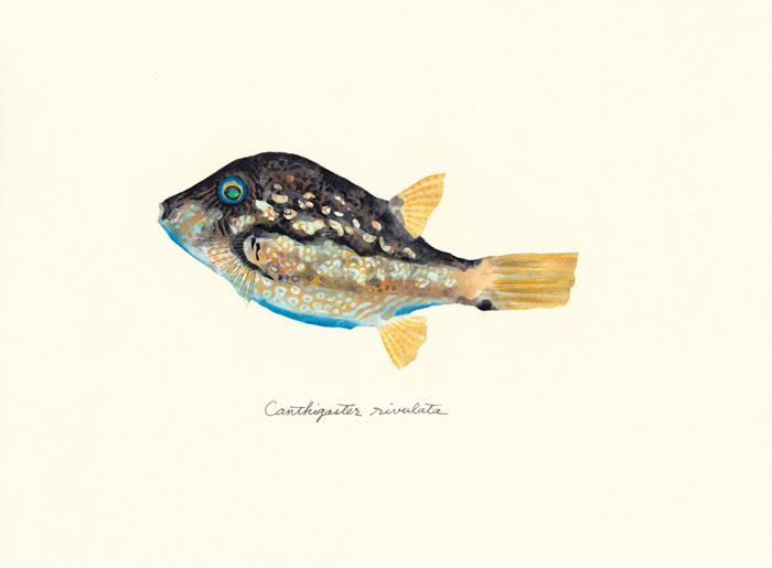 Canthigaster_rivulata