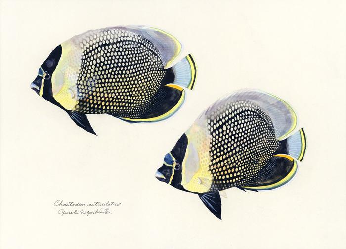 Chaetodon_reticulatus