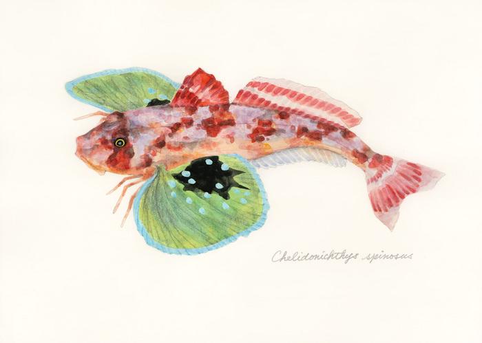 Chelidonichthys spinosus