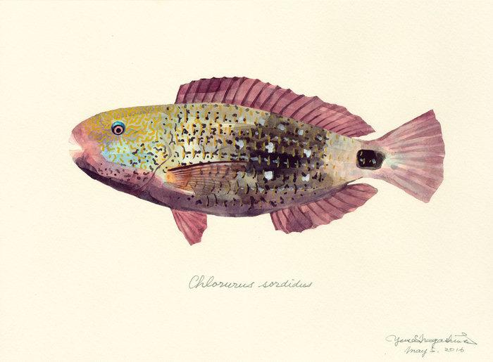 Chlorurus_sordidus