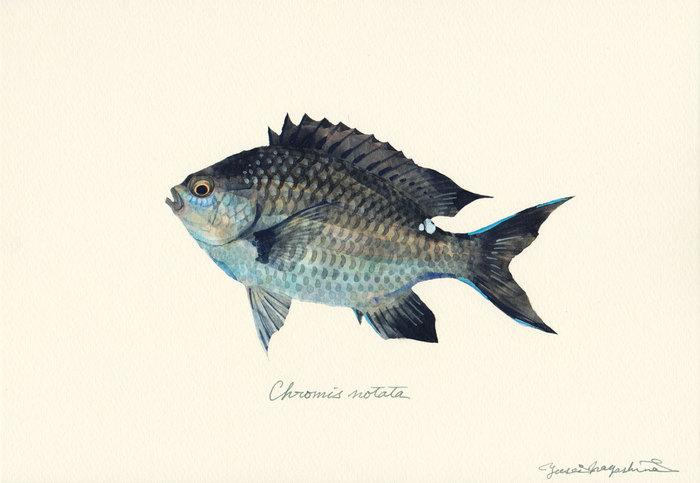 Chromis_notata