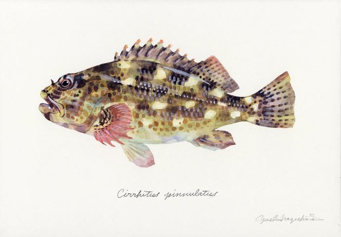 Cirrhitus_pinnulatus