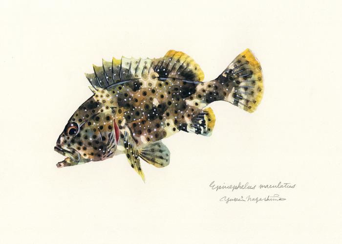 Epinephelus_maculatus.jpg