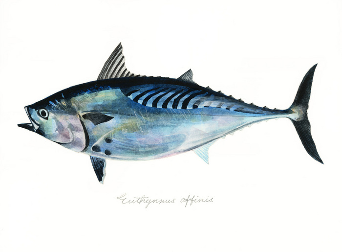 Euthynnus affinis