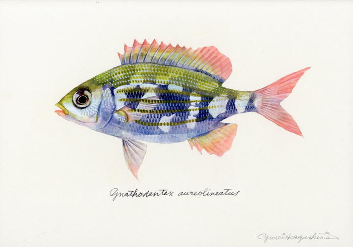 Gnathodentex aureolineatus