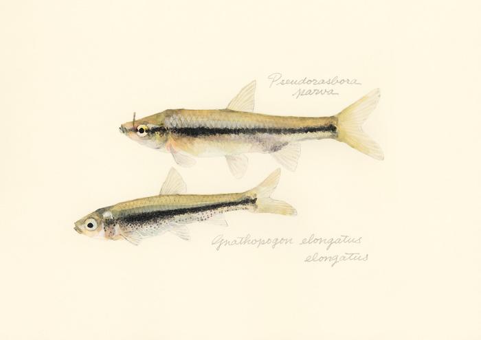 Gnathopogon elongatus elongatus