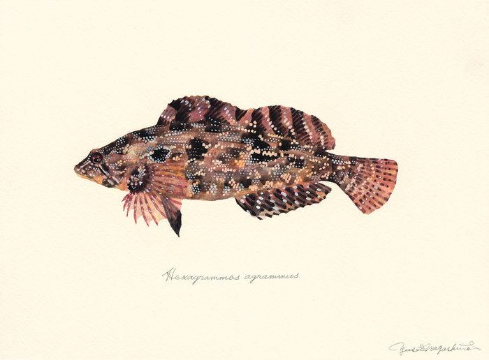 Hexagrammos_agrammus