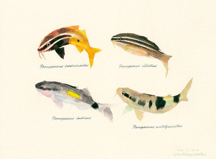 Juvenile goatfish
