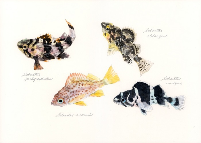 juveniles of the genus Sebastes
