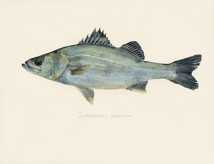 Lateolabrax japonicus