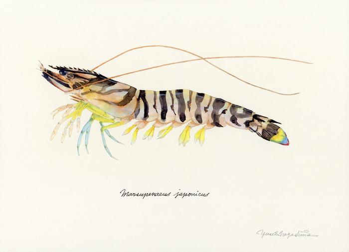 Marsupenaeus_japonicus