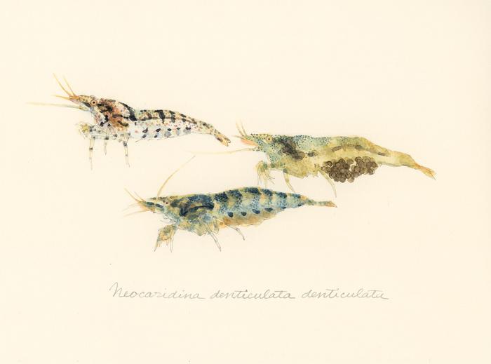 Neocaridina denticulata denticulata