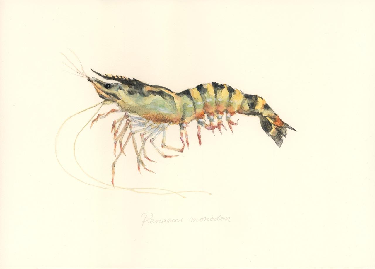 ウシエビ Penaeus monodon: uono...