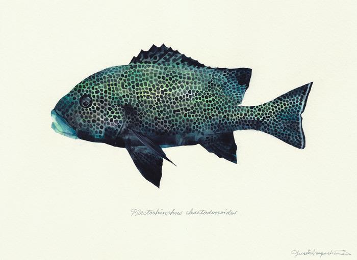 Plectorhinchus chaetodonoides_160617