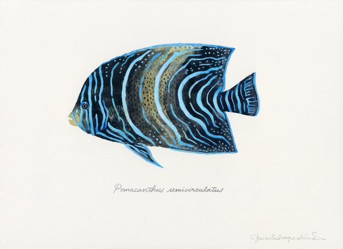Pomacanthus_semicirculatus