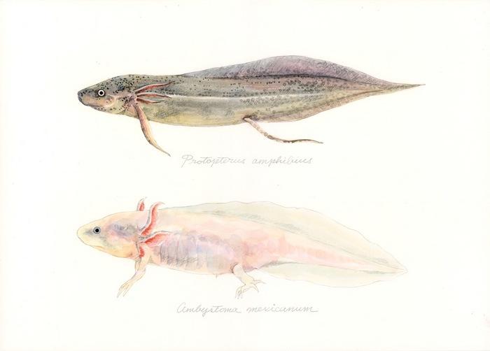 Protopterus amphibius