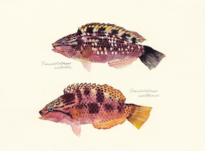 Pseudolabrus_sieboldi_eoethinus