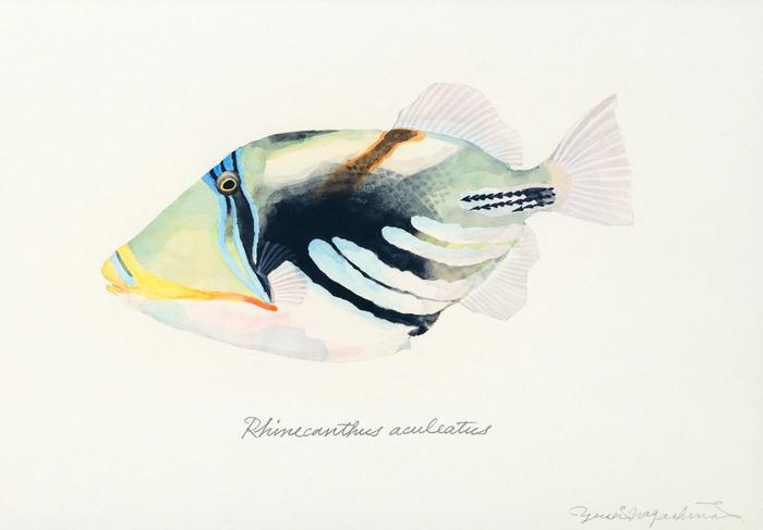 Rhinecanthus_aculeatus