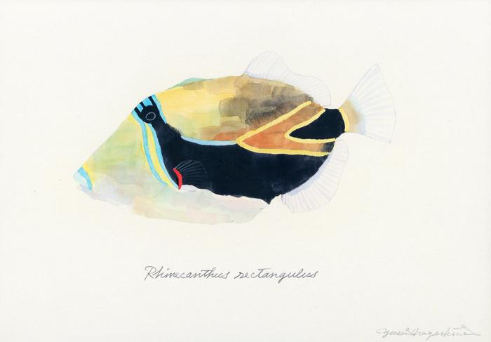 Rhinecanthus_rectangulus