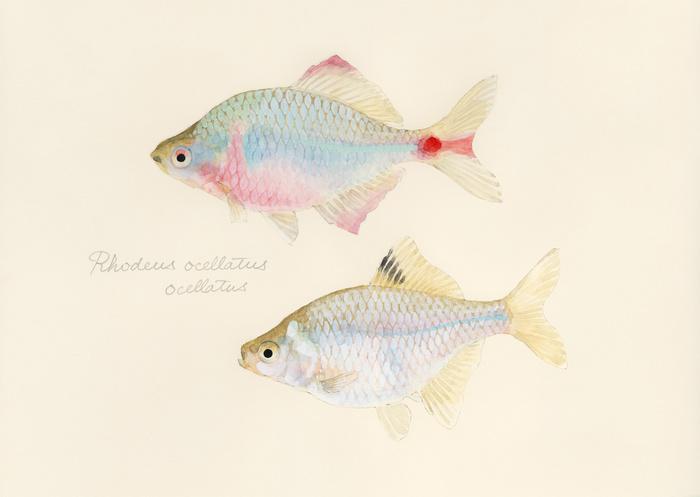 Rhodeus ocellatus ocellatus