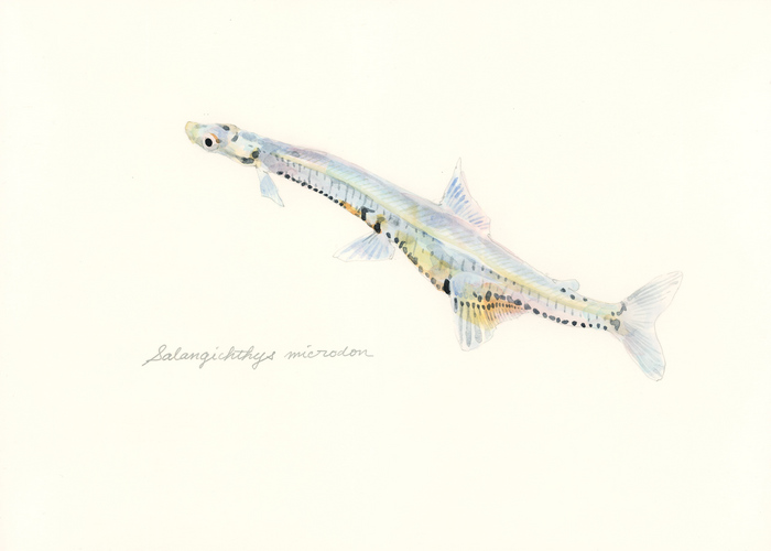 Salangichthys microdon