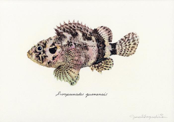 Scorpaenodes_guamensis