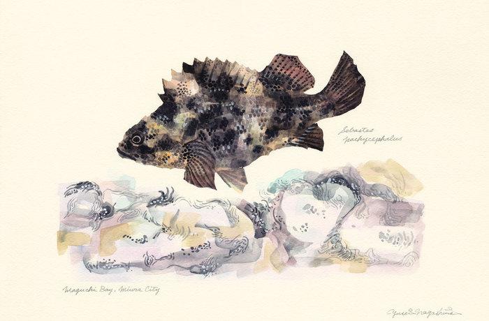 Sebastes pachycephalus 151218
