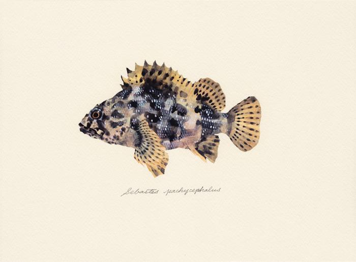 Sebastes pachycephalus