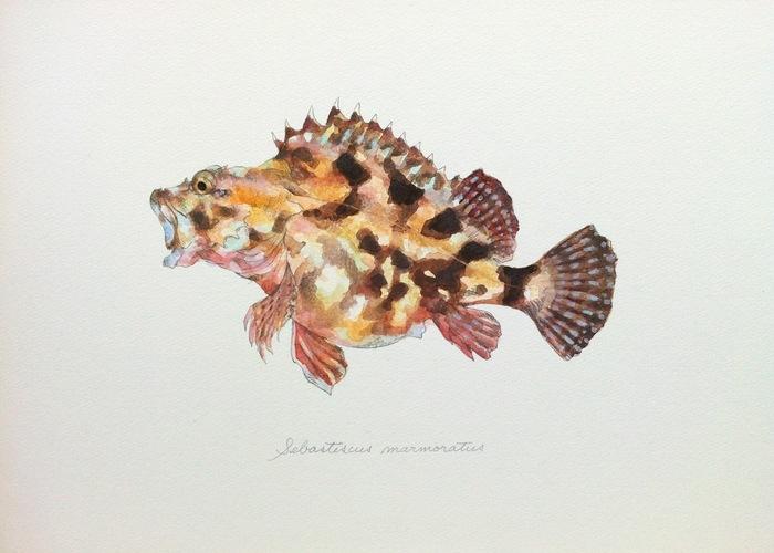 Sebastiscus marmoratus