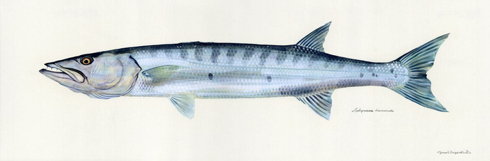 Sphyraena_barracuda