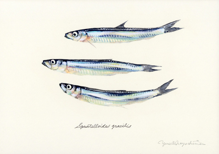 Spratelloides_gracilis