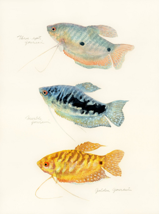 Trichopodus trichopterus