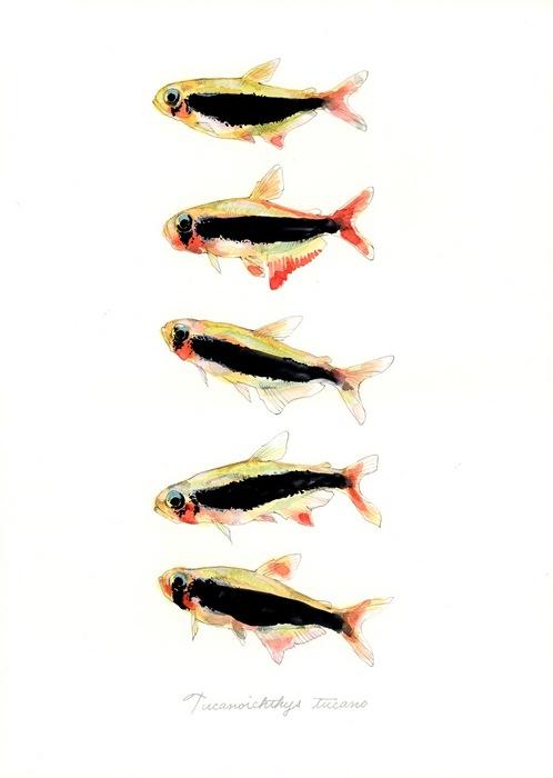 Tucanoichthys tucano