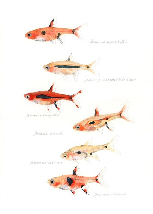 genus Boraras