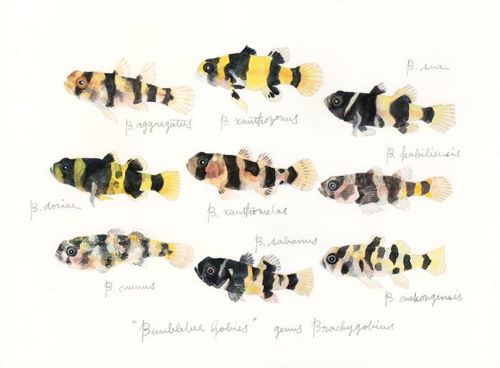 genus Brachygobius