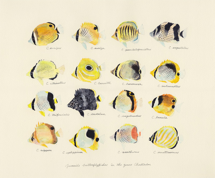 juvenile butterflyfishes