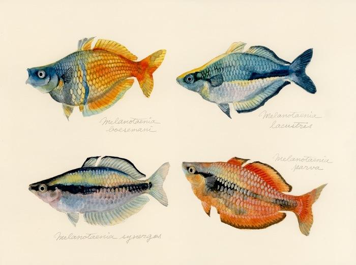 genus Melanotaenia