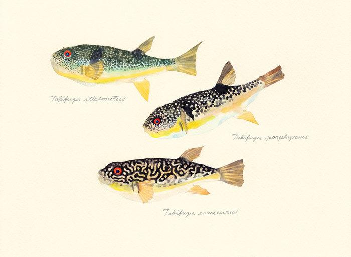 genus Takifugu_150828