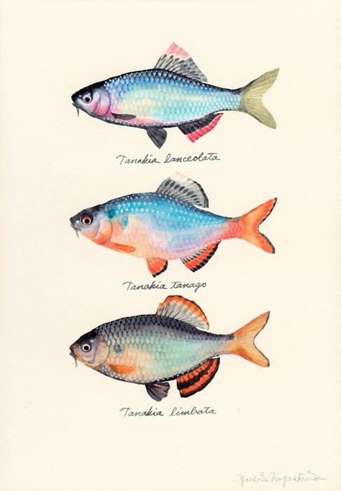 genus Tanakia