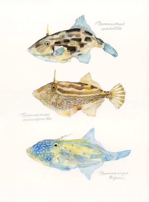 genus Thamnaconus