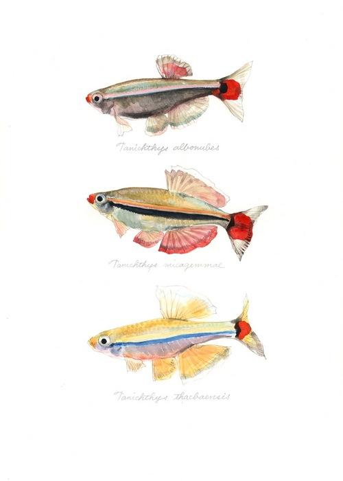 genus Tanichthys