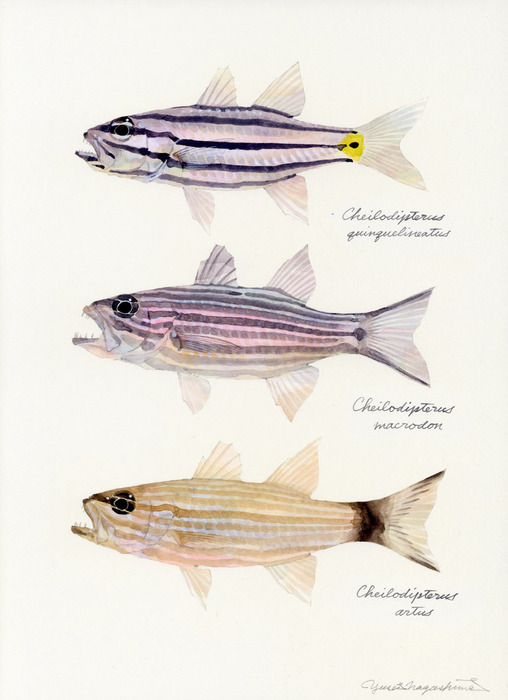 Cheilodipterus_spp