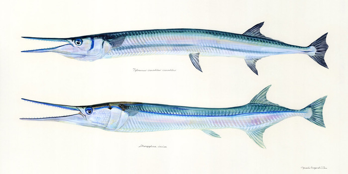 needlefishes
