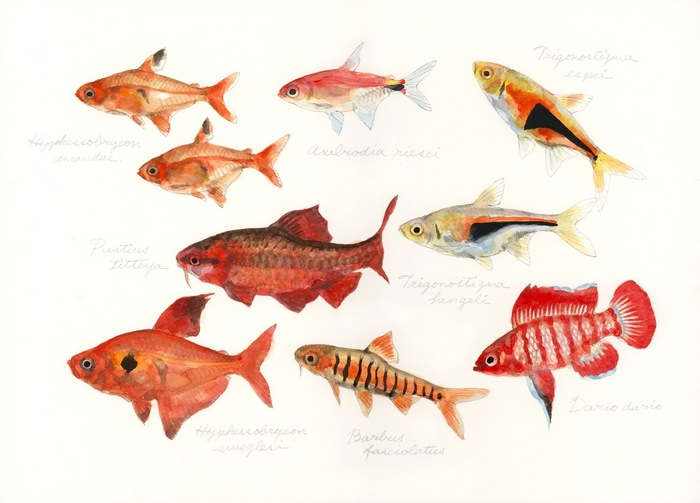 red colored fish
